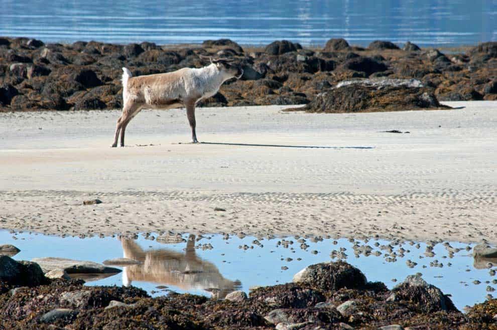 natura a tromso renna