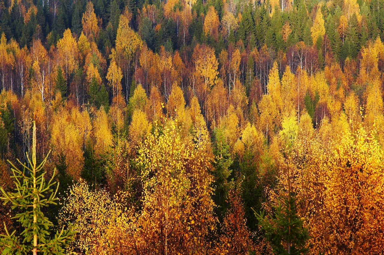 Foliage in Lapponia Nord Europa
