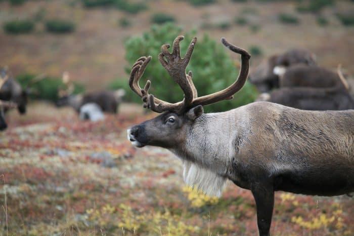 Cena al campo di renne Sami